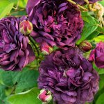 West-Green-House-Gardens_Purple-Rose