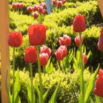 tulips_01